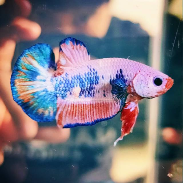 Ikan Cupang Nemo Candy Multicolor A4 Shopee Indonesia