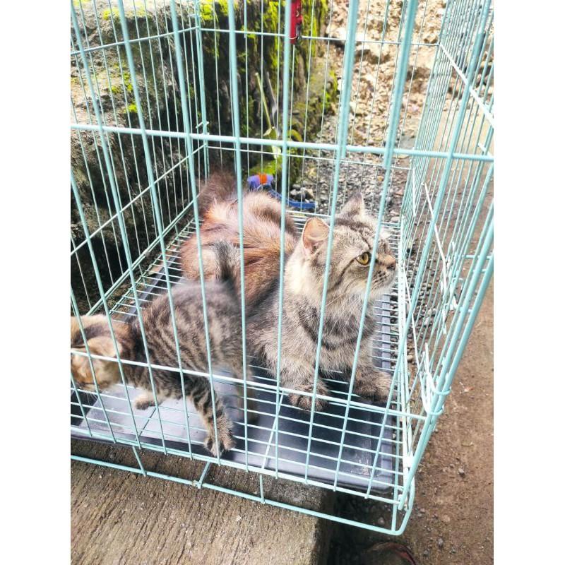 Kucing Persia mix Mainecoon Betina Bonus Anak