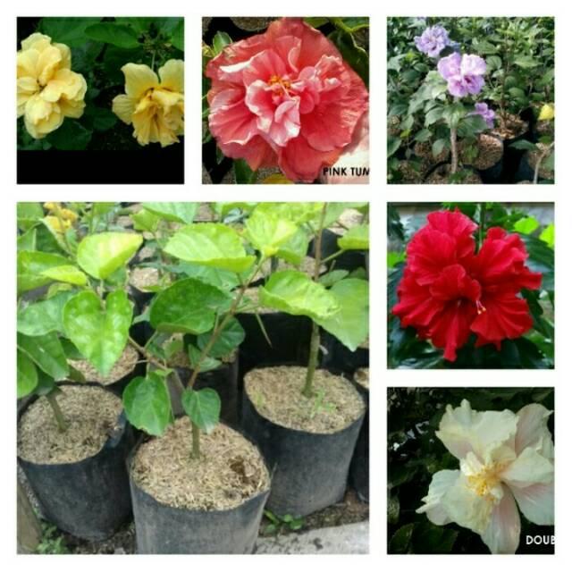 Paket Hemat 5pcs Bunga Sepatu Tumpuk Hibiscus Tumpuk Shopee Indonesia