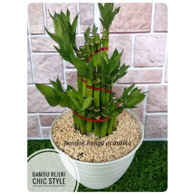 Tanaman Hias Bambu Rejeki Dracaena Chic Style Shopee Indonesia