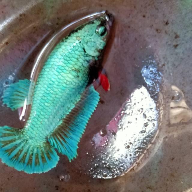 Ikan Cupang Female Besgel M Full Shopee Indonesia