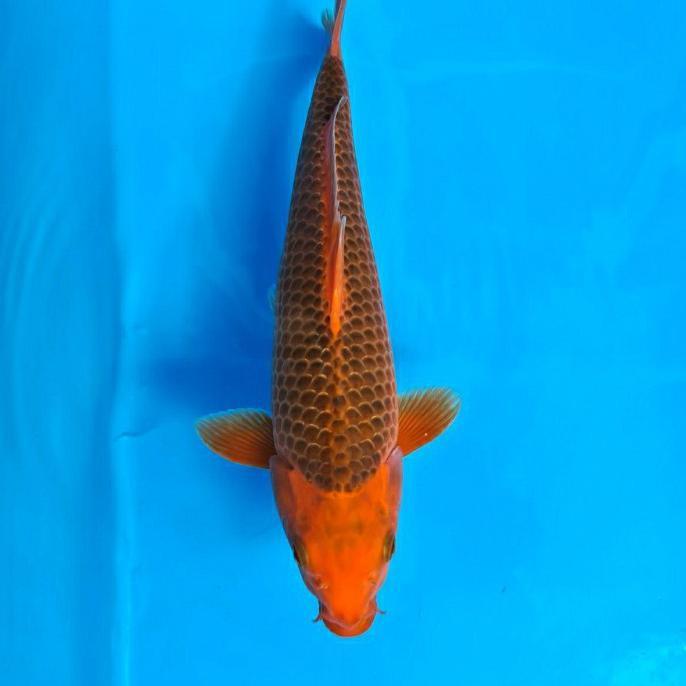 Koi Ikan Koi Import Akamatsuba Boldehshop