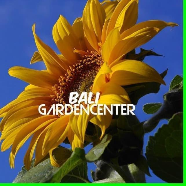 Benih Biji Bunga Matahari Sunflower Sun King Shopee Indonesia