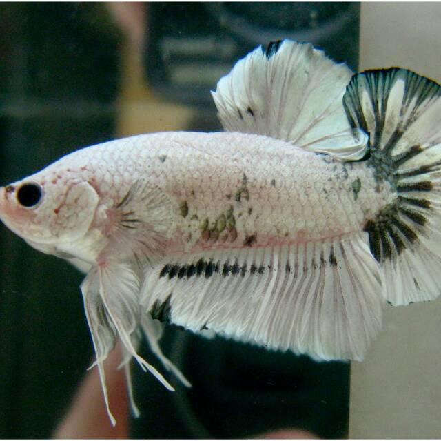 Jual Ikan Cupang Giant Shopee Indonesia