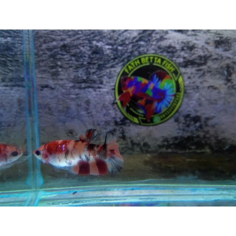 Ikan Cupang Betina Nemo Galaxy