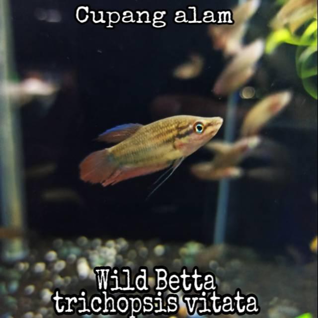 Wild Betta Cupang Alam Hiasan Aquascape Shopee Indonesia