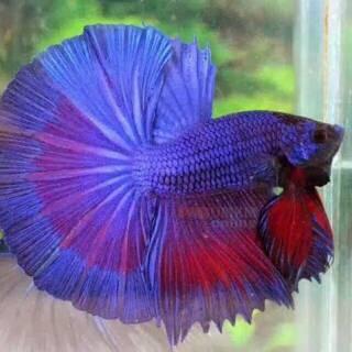 Ikan Cupang Ipoh