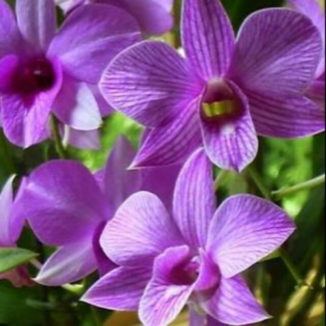 Anggrek Larat Dendrobium Phalaenopsis Shopee Indonesia