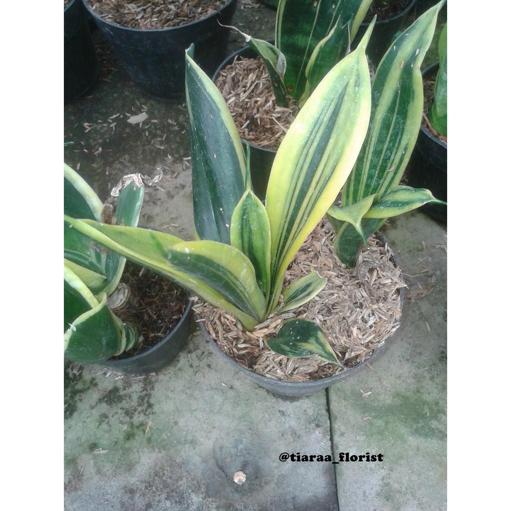 Tanaman Hias Caladium Bicolor Florida Sweet Shopee Indonesia Bibit Bunga Hibiscus Striped