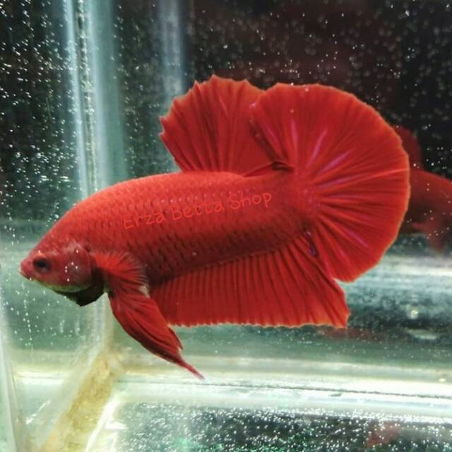 Ikan Cupang Plakat Super Red Shopee Indonesia