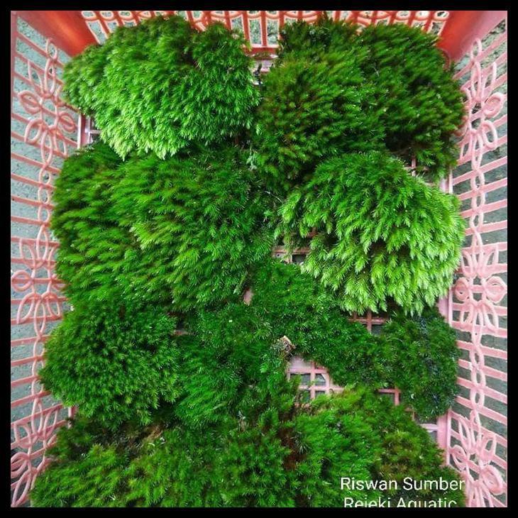Star Moss Moss Darat Buat Paludarium Shopee Indonesia