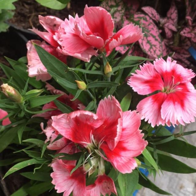 Tanaman Hidup Bunga Dianthus Carnation Edible Flower Bunga Bisa Dimakan Shopee Indonesia