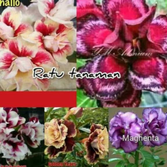 Terbaru Promo Hemat Paket 5 Kamboja Jepang Adenium Bunga Kamboja Banyak Warna Shopee Indonesia