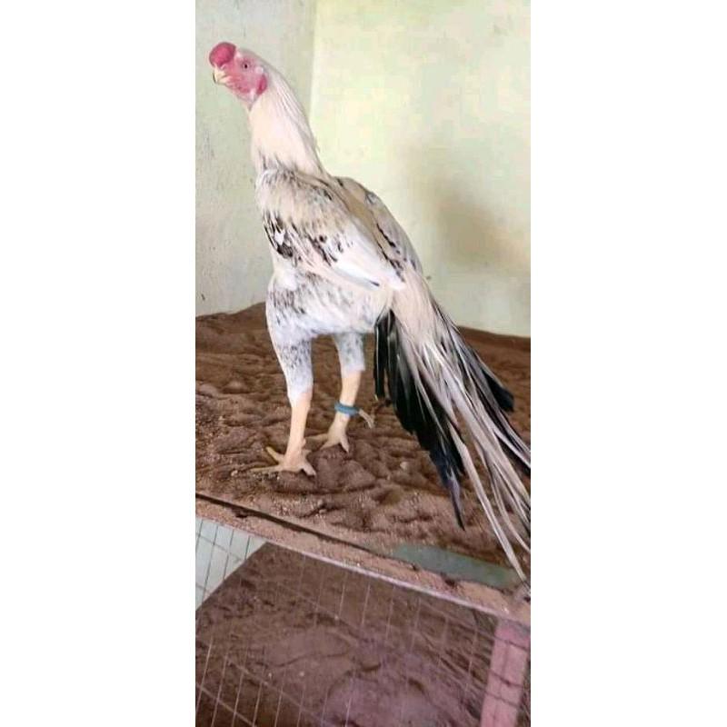 Telur ayam aseel parrot