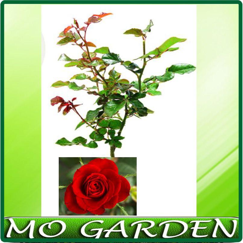 bunga hidup - Temukan Harga dan Penawaran Taman Online Terbaik -  Perlengkapan Rumah Februari 2019  f8a158dd09