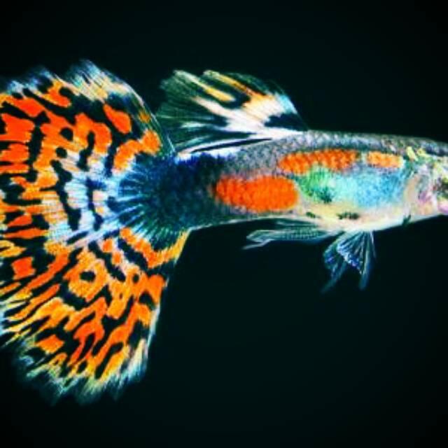 Jual Ikan Hias Jenis Gappy Guppy Gepi Murah Shopee Indonesia