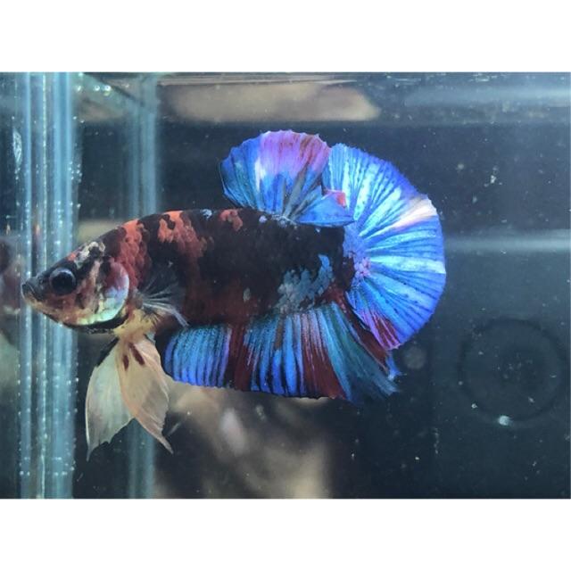 Ikan Cupang Avatar Cupang Nemo Avatar Shopee Indonesia