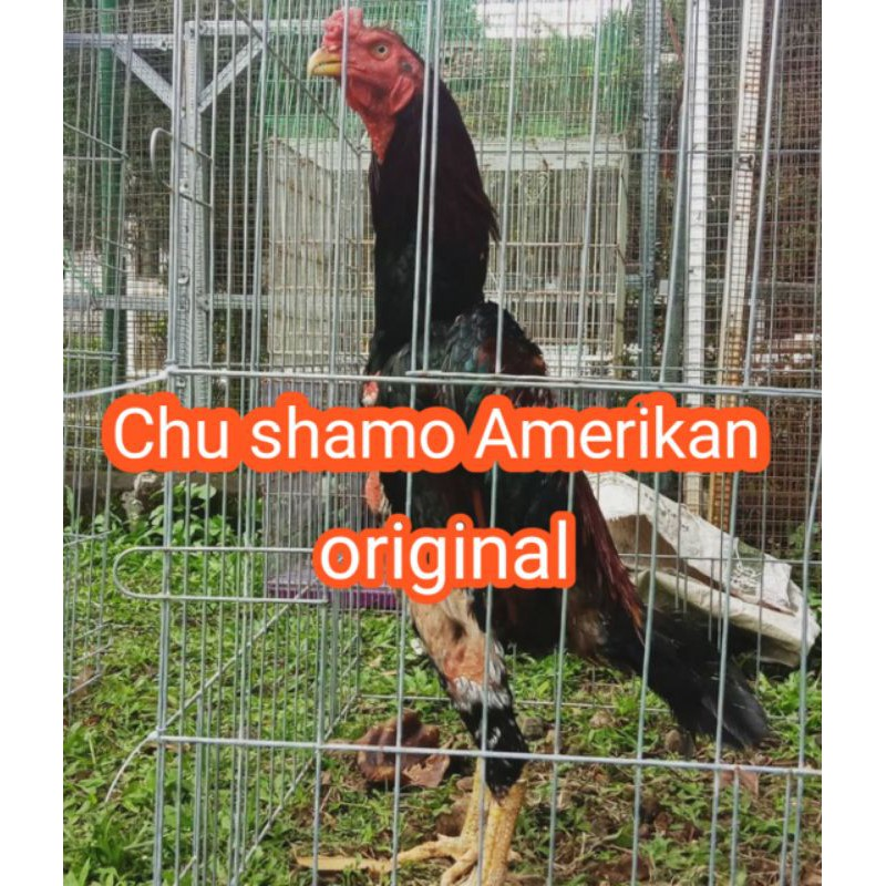 telur ayam bangko Chu shamo original