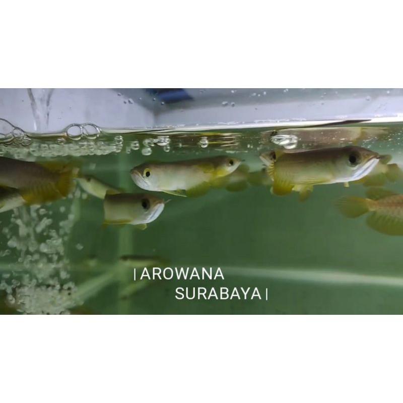 Ikan Arwana Golden Pino / Green Pino 10-12 cm