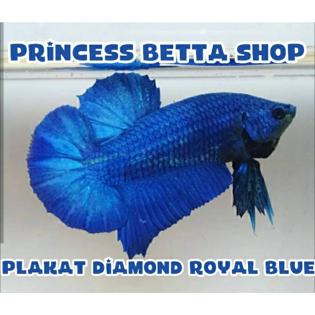 Ikan Cupang Bbl Series Royal Blue Line Avatar Shopee Indonesia
