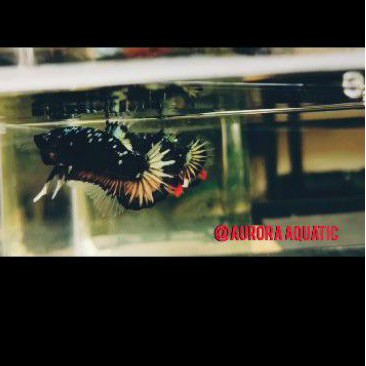 ikan cupang bahan avatar gold (PROMO)