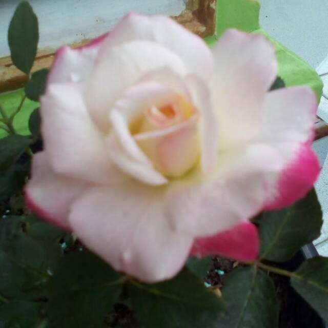 Bibit Bunga Mawar Bandung White Pink Shopee Indonesia