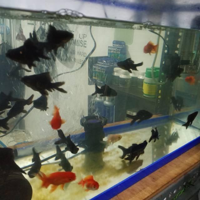 Ikan Mas Mas Koki 4 Cm Up Black Moor Oranda Shopee Indonesia