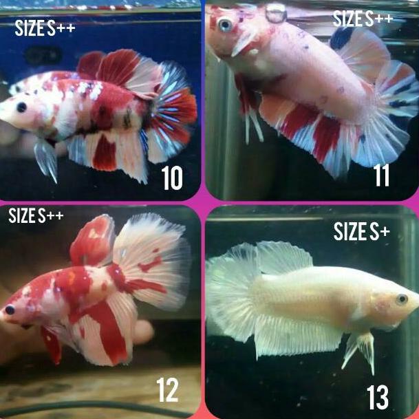 Kode B6135 Ikan Cupang Koi Nemo Galaxy Soft Gold Shopee Indonesia