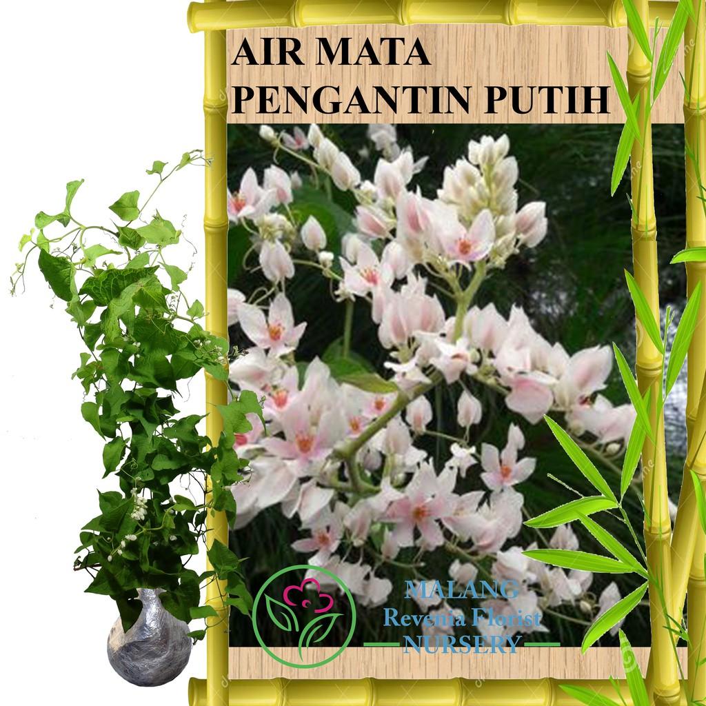 Tanaman Bunga Air Mata Pengantin Putih Tinggi 60 80 Cm