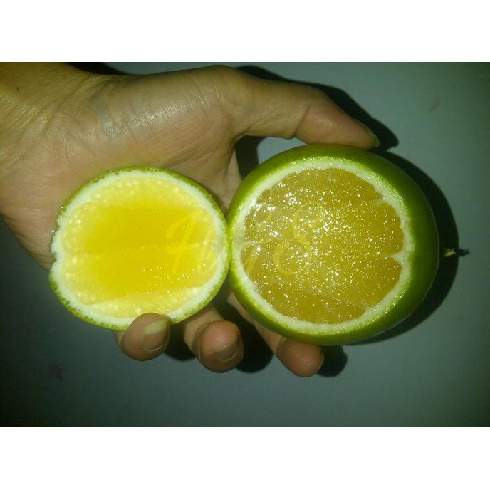 Ori Bibit Tanaman Buah Jeruk Lemon Jumbo Kw1 Shopee Indonesia