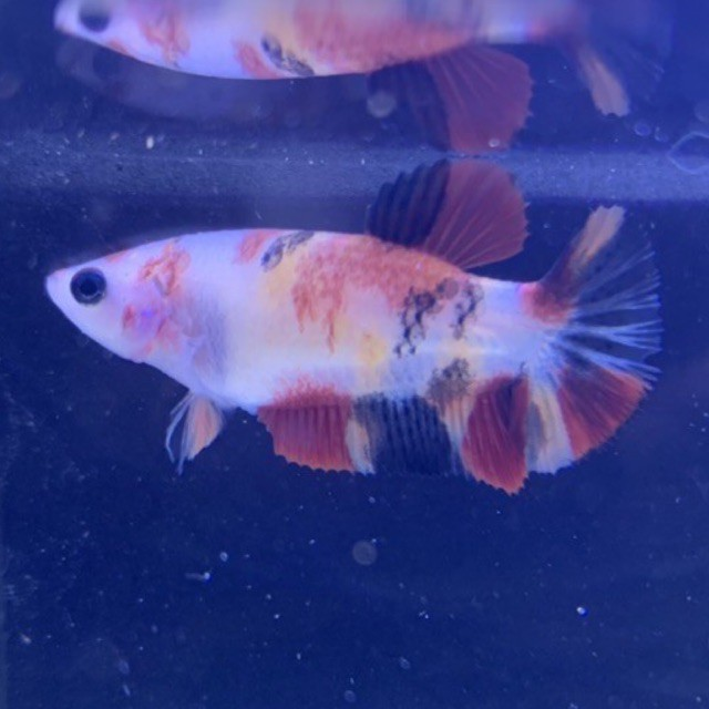 Cupang Female Betina Giant Multicolor Nemo Galaxy 010