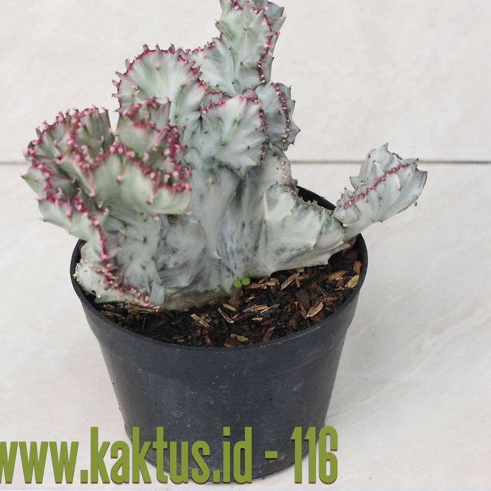 Kaktus Sukulen 116 Euphorbia Lactea Cristata