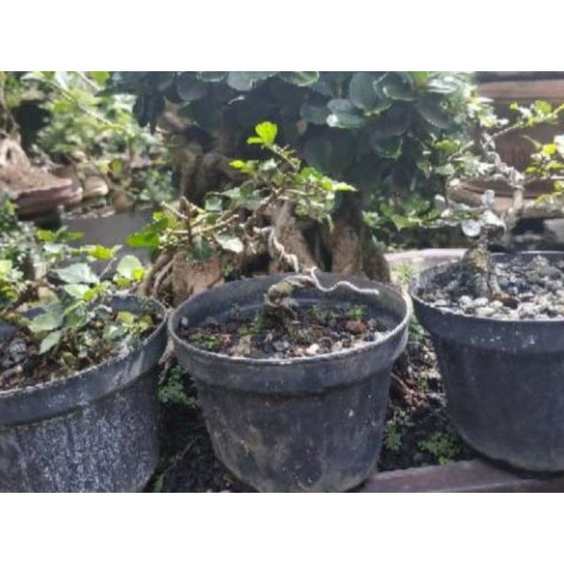 bahan bonsai serut mame / bonsai serut mini