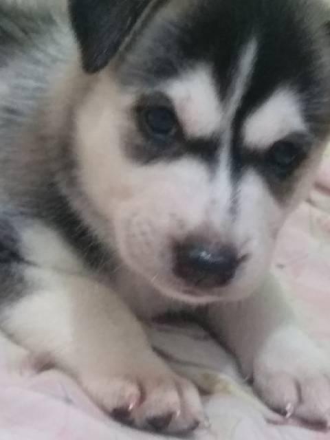 Puppies Husky Mix Golden Shopee Indonesia