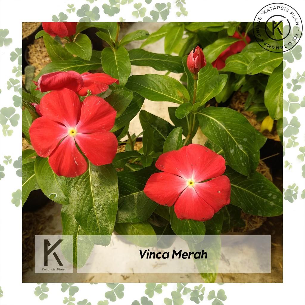 Katarsis Plant Tanaman Hias Bunga Vinca Merah Untuk Teras Rajin Berbunga Shopee Indonesia