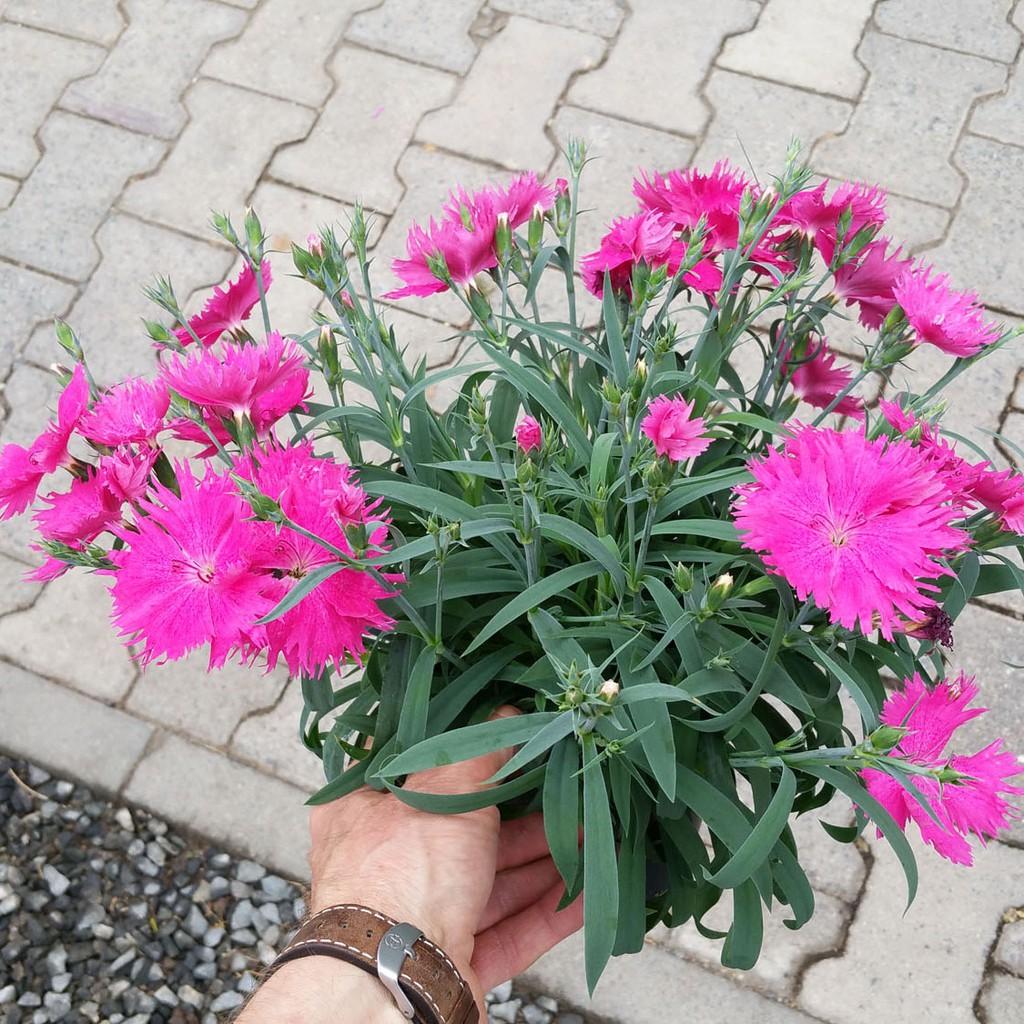 Tanaman Hias Tahan Panas Anyelir Bunga Pink Dianthus Suntory Pink Shopee Indonesia