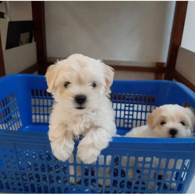 Puppoes Anjing Maltese Betina Shopee Indonesia