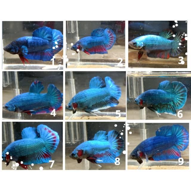 Ikan Cupang Besgel Line Avatar Shopee Indonesia