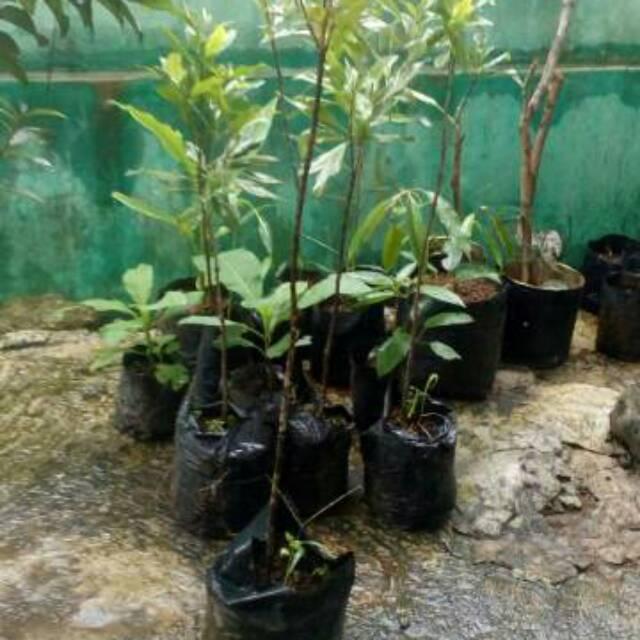 Bibit Pohon Cengkeh Buah Cengkeh Shopee Indonesia