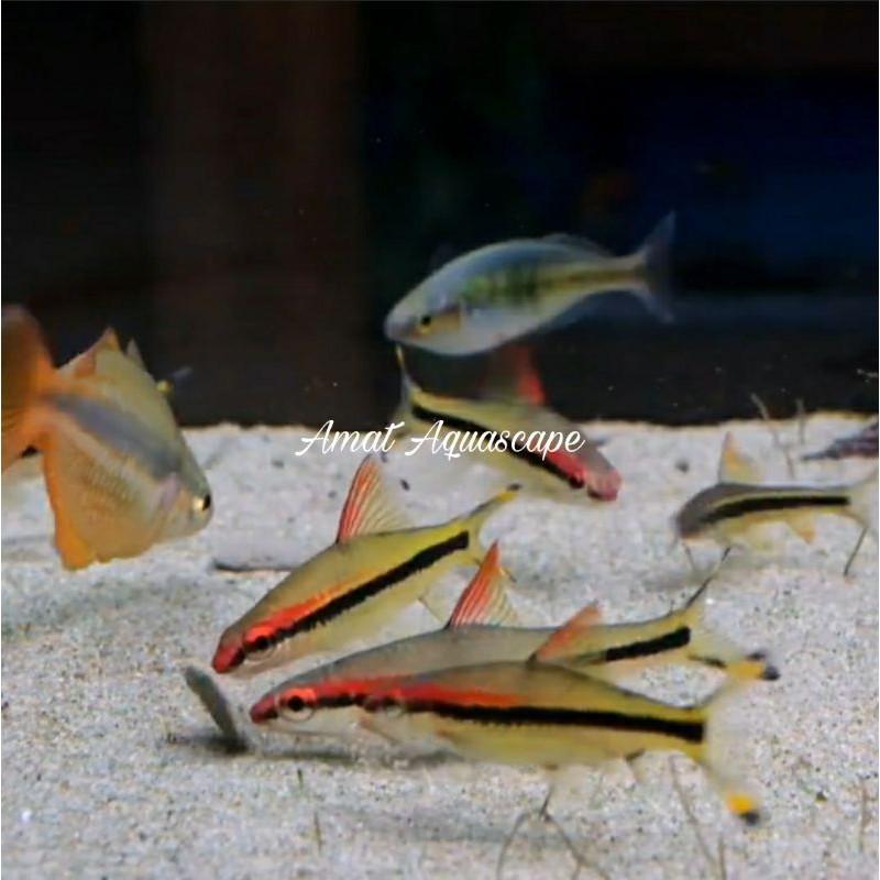 Ikan Hias Puntius Denisonni Aquarium Aquascape Murah Shopee Indonesia