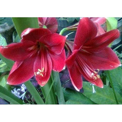 Cuci Gudang Amaryllis Bunga Amarilis Red Amaryllis Bawang Bawangan Shopee Indonesia