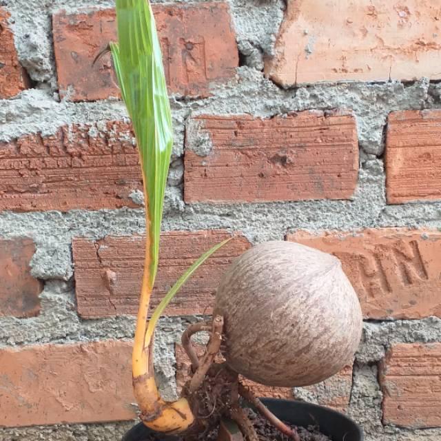 Bonsai kelapa unik