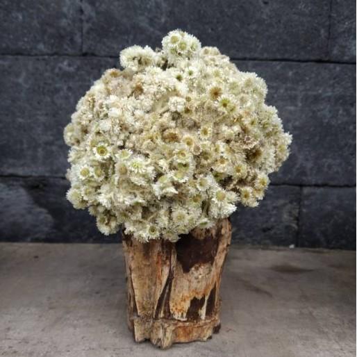 Bunga Edelweis Pot Akar Kayu 15 cm   Shopee Indonesia