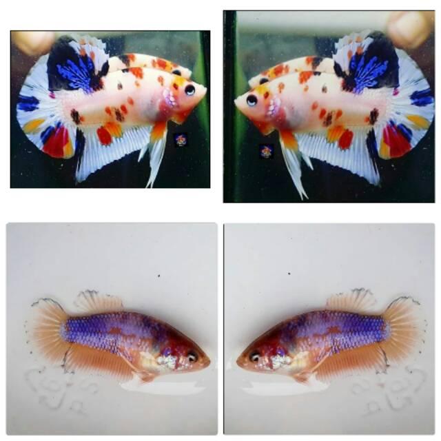 Satu Pasang Ikan Cupang Jenis Koi Fancy | Shopee Indonesia