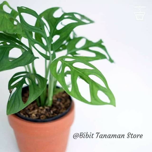 Tanaman Hias Janda Bolong Monstera Obliqua Janbol Shopee Indonesia