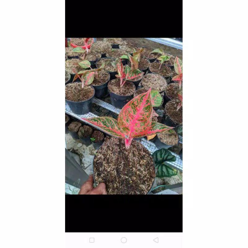1 paket Aglonema reanita, Stardust orange, legacy mangkok dan rinjani
