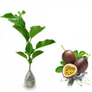 Kiwi Fruit Seed Lazada Indonesia Source Amefurashi Bibit Benih Seeds Buah Beach Cherry . Source ·