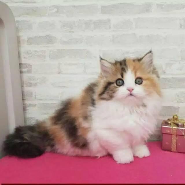 Dijual Kitten Kucing Anggora Shopee Indonesia