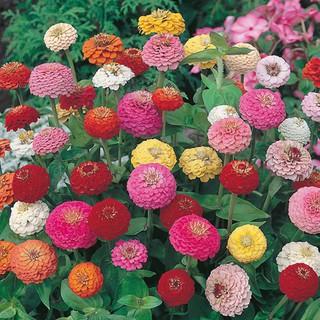 7 Benih Bunga zinnia sunbow mixed F1 mr fothergills bibit tanaman
