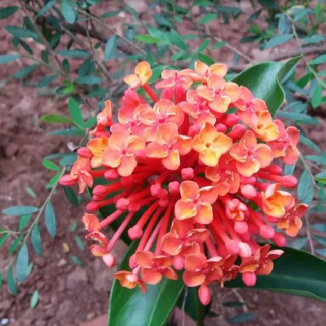 Tanaman Hias Asoka Siantan Orange Soka Orange Bunga Siantan Shopee Indonesia